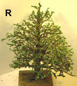 R-tree-painted