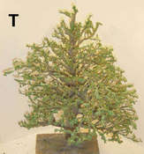 T-tree-painted4