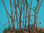 bamboo_8_